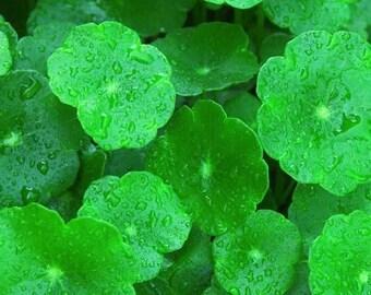 Organic Gotu Kola Powder (Centella Asiatica) 1lb