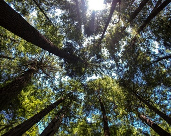 Up in the Trees Print, Landscape Photography, Wall Art