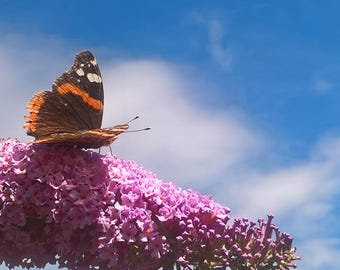 Butterfly Photo Butterfly On The Buddleia Flower photography Nature photo Home Decor