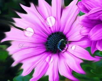Purple Daisy Flower - Matted Photo Art, Various Sizes