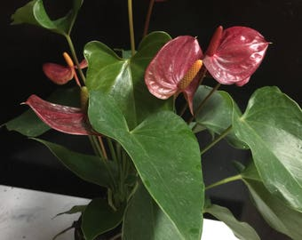 Anthurium plants (choose pink or red!)