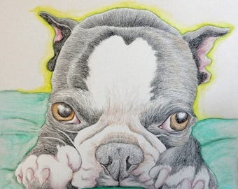 Dog Days of Summer Boston Terrier Original Pencil Drawing 9 x 10  Pet Dog Art-Carla Smale