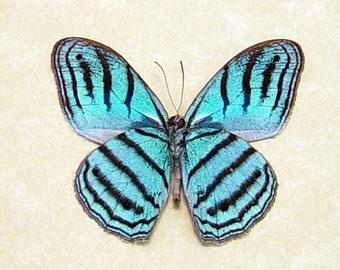 Real Framed Rare Cepheuptychia Cephus Sky Blue Butterfly 7871V