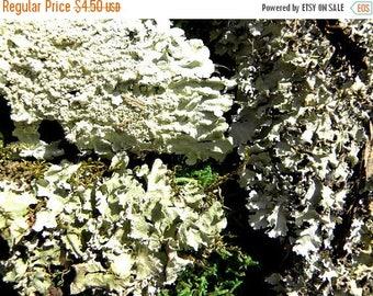 Save25% Black Lichens Weird & Wild Tree lichens-These are still living lichens for OPEN style terrariums
