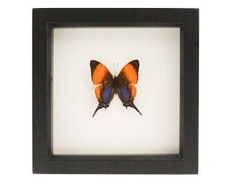 Framed Daggerwing Butterfly Display Insect Art