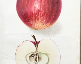 United States Agricultural department Yearbook 1907 original Lithograph delicious Apple