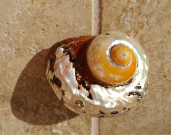 Smarticus - Polished Seashell - Pearlized Black and Orange Turbo - African Smarticus Seashell 219