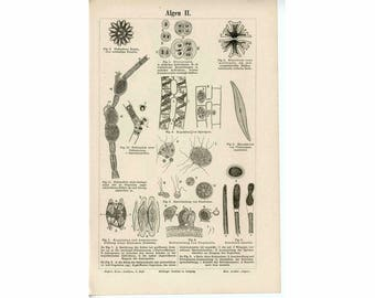 c. 1894 ALGAE PRINT -  original antique lithograph - sea algen - ocean fauna and sea flora
