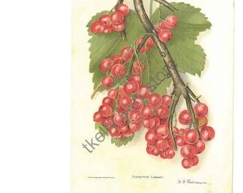 RED CURRANT, 1904 original print, US Dept of Ag
