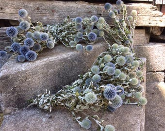 12 Bunches Blue Globe Thistle