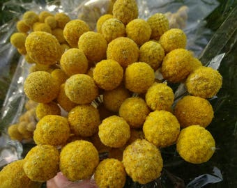 Craspedia   Billy Balls  Floral Supplies  Yellow Flowers  Dried Flowers  Bridal Bouquet  Floral Fillers  Small Billy Balls