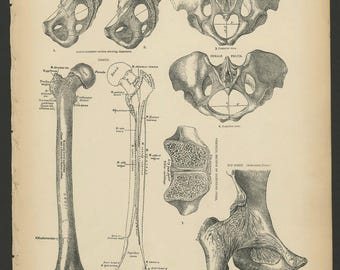 4 Vintage 1880 Human Anatomy Lithograph Print Pelvic, Hip, Leg, Bones