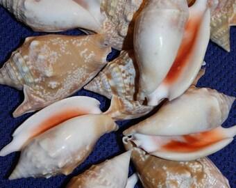 "12% OFF Bulla Strombus Shells, Free Shipping, 2"" - 3"", Shell Frame Crafts, Shadow Box Shells, Sailor Valentine Shells, Beach Decor, #9"