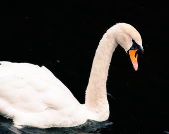 Black Water Swan