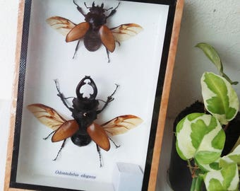 Real 2 Brown Stag Beetle Odontolabis Elegans Beetle Beetles Winged Bug Bugs Insect Insects Boxed Box Display Taxidermy Entomology Gift Art