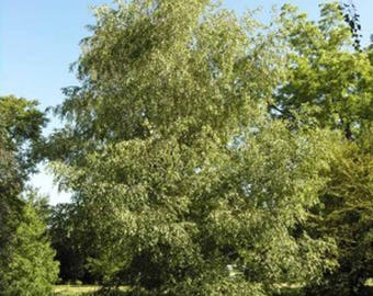 100 Gray Birch Tree Seeds, Betula populifolia