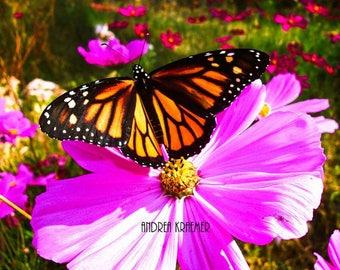 Monarch Butterfly, Cosmo, Garden, Flower Photograph