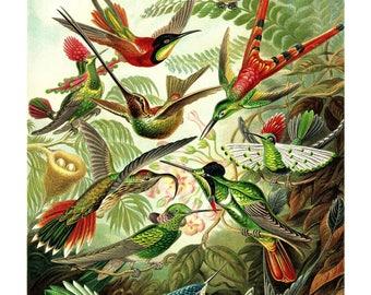 Ernst Haeckel's Vintage Artwork Trochilidae