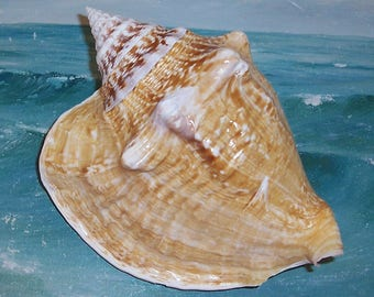 "Large 7 1/2"" FLORIDA Keys BEACH Collected Milk Conch Shell SEASHELL"