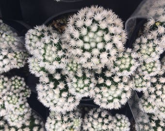 Cactus Plant. Medium Arizona Snowcap is a hybrid of the Thimble Cactus with dense, white, clustering spines!!
