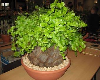 Turtle Shell (Dioscorea Elephantipes)  5 seeds