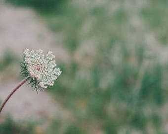 Flower Photography, Queen Anne's Lace Flower, Flower Photo, Shabby Chic, Flowers, Nature Photo, Fine Art Print Wall Art Photo Flower Picture