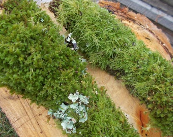 Bark with moss. 2 pieces. Terrarium, shade house, bonsai. Live moss...