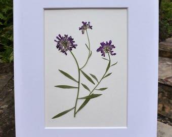 FREE SHIP  Real Pressed Flower Botanical Art Herbarium of Purple Wildflower 8x10