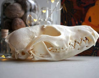 Large real skull red fox 5+quality skull