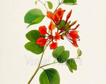 Bauhinia Flower Art Print, Botanical Art Print, Flower Wall Art, Flower Print, Floral Print, red
