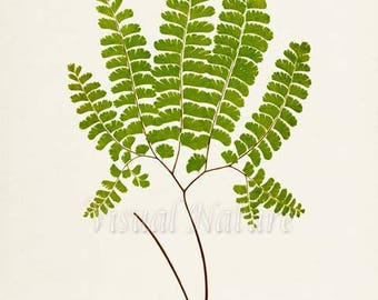 Five Fingered Fern Art Print, Botanical Art Print, Fern Wall Art, Fern Print, Botanical Print, green art print