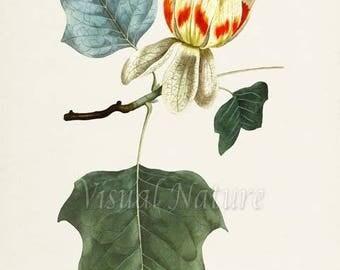 Tulip Tree Art Print, Botanical Art Print, Flower Wall Art, Flower Print, Floral Print, Tulip Art, yellow red