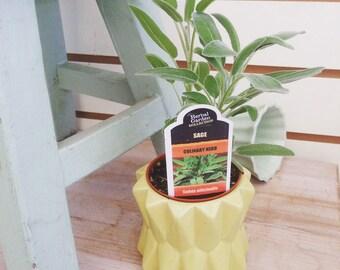 """Sage Berggarten Herb 2"""""""
