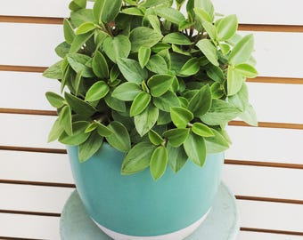 HARD TO FIND!! Peperomia orba Pixie Lime Cuttings (5)