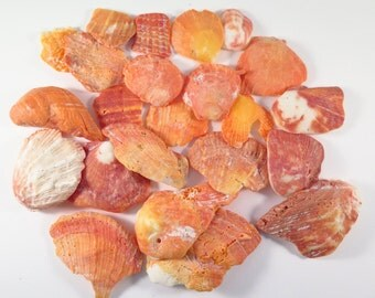 Atlantic Thorny Oyster, bright orange shell pieces  #122S