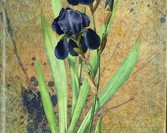 Beautiful blue iris - Iris Germanica