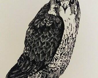Peregrine falcon print from original artwork drawing.