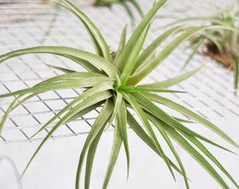 Terrarium Air Plant Tillandsia Velutina, Terrarium Plants, Air Plant Terrarium, Succulent, Wholesale Air Plant In Bulk Indoor Plant Airplant