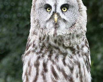Great Grey Owl, Gentleshaw wildlife centre, Eccleshall