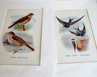 Two Vintage British Bird Prints to Frame - 1910s Bird Illustrations - Thrushes and Swallows and Swifts - Pictures in Card Mounts