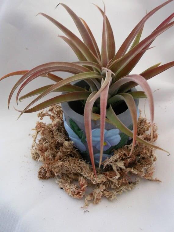 Peach Capitata is simply gorgeous in little gray terra cotta flower pot