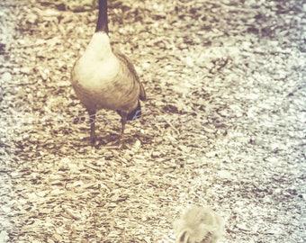 Gosling, Animal Photography, Nursery Decor, Geese, Goose, Wild Animals Wall Art, Nature Decor, Bird Photograph, Baby Birds
