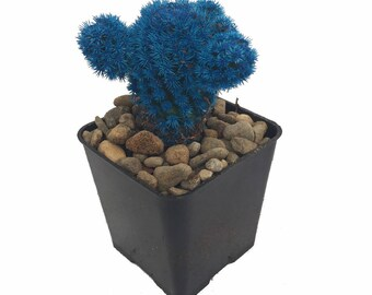 "Tara Blue Living Desert Jewel Cactus - 2"" Pot"