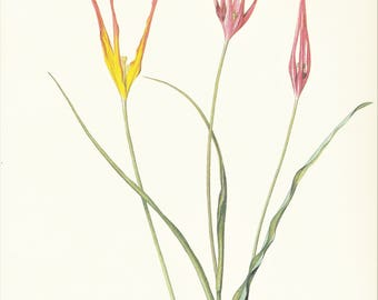 yellow red tulip spring bulb garden flower vintage botanical print by Pierre-Joseph Redouté 8.5 x 12 inches