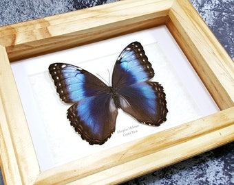 FREE SHIPPING Framed Morpho Helenor FEMALE Common Blue Morpho Butterfly Taxidermy High Quality A1 #58