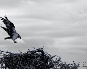 Osprey Photograph
