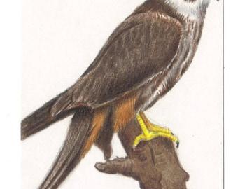 ACEO Bird Hobby Falcon Art Card, Original Drawing Miniature Art, Wildlife, Nature Bird Drawing, Bird Of Prey