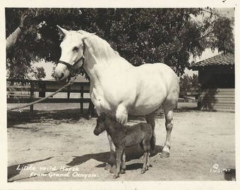 Her Vigilant Ear - Vintage 1940s Real Photo Postcard, Little Wild Horse and Foster Mare