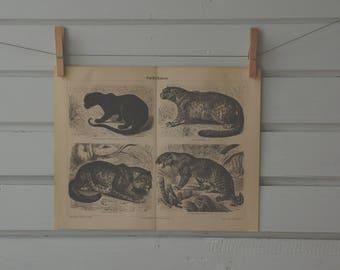 1890 Vintage Panthera Species Illustration