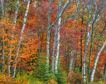 Autumn Print, Birch Tree Photo, Autumn Photography, Fall Foliage, Fine Art Print, Adirondack Mountains, Home Decor, Nature Print, Fall Color